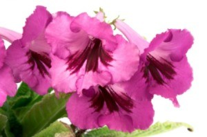 Streptocarpus flowers.