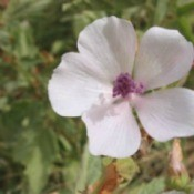 Growing: English Mallow