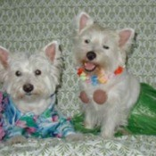 Jerry and Shana (West Highland White Terriers)