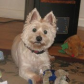 Simon (West Highland Terrier)