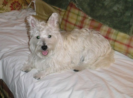 Lilly (West Highland Terrier)