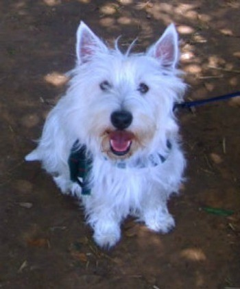 Riley (West Highland White Terrier)