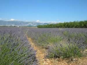 Growing: Lavender