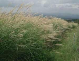 Growing: Ornamental Grasses