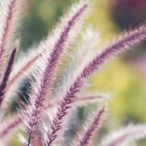 Grow Ornamental Grasses