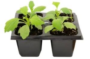 aster seedlings