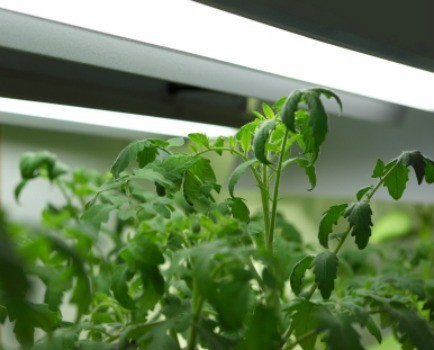 Tomato plants growing under a grow light system.
