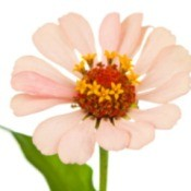 Saving Zinnia Seeds
