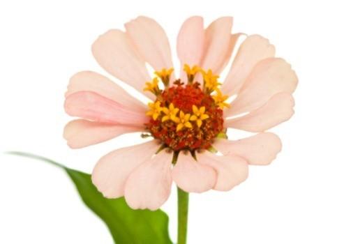 Saving Zinnia Seeds Thriftyfun