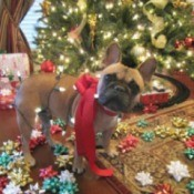 Brooklynn (French Bulldog)