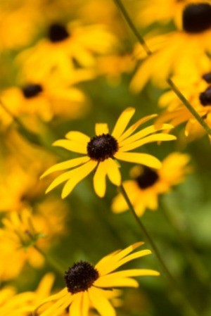 Growing Black-Eyed Susan