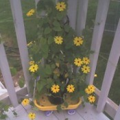 Garden: Black Eyed Susan