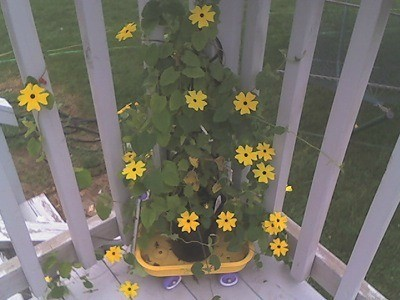 A Black-eyed Susan vine growing up a patio railing.
