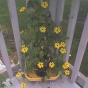 A Black-eyed Susan vine growing up a patio railing.