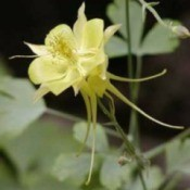 Growing: Columbine