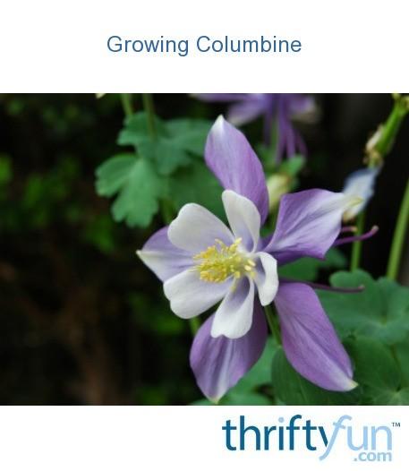 Growing Columbine Thriftyfun
