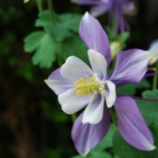 Growing Columbine