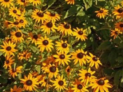 gloriosa daisy flowers