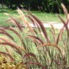 Growing Ornamental Grasses Purple Fountain Grass