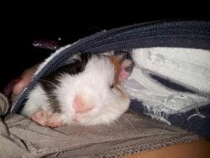 Guinea pig inside jacket.