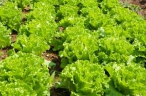 Lettuce Crops