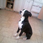 Black and white puppy in kitchen.