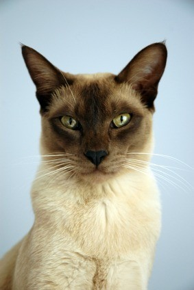 Tonkinese Breed Information And Photos Thriftyfun