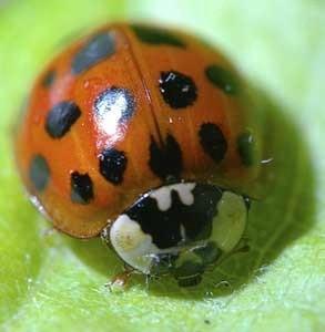 Autumn Ladybug Invasions