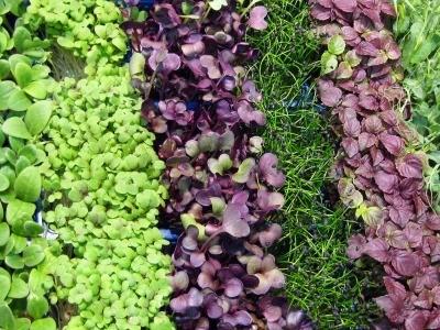 Growing Microgreens Thriftyfun