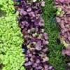 Microgreens for Sale