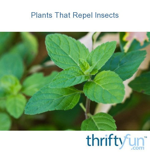 Plants Repel Insects: Plants That Repel Insects