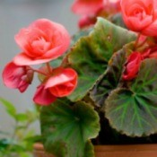 Growing Wax Begonias