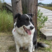 A Border Collie