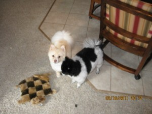 Two Poms with their toy.