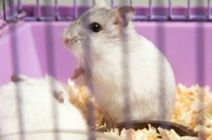 Litter Training a Hamster