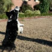 Border Collie puppy.
