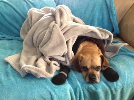 Dog under fleece blanket.