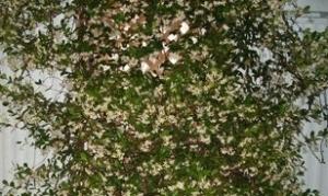 A Flowering Jasmine Bush