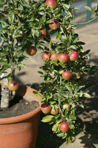 Apple tree growing in a pot