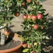 Apple tree growing in a pot