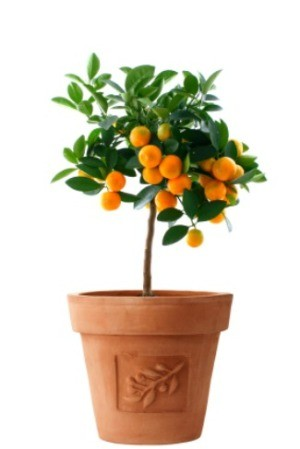 orange tree in a terra cotta planter