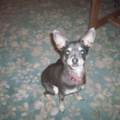 Gray Chihuahua