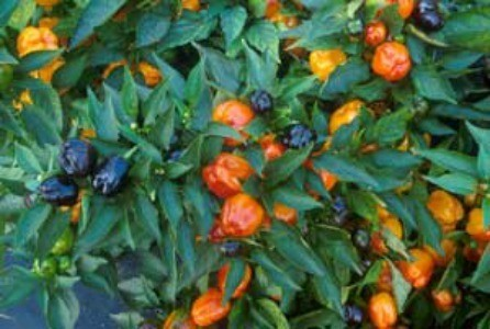 Growing: Peppers