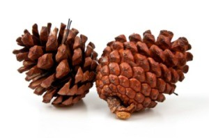 Selling Pine Cones