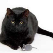 Black cat with toy mouse.
