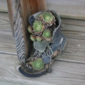 a boot with succulents