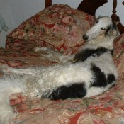 A Borzoi dog lying on a full size bedspread.