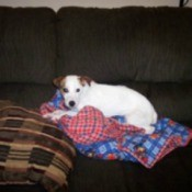 A Jack Russell Terrier lying on a colorful blanket.
