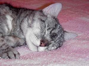 gray and white cat sleeping
