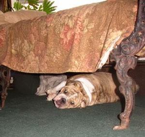 Bulldog Under the Bed